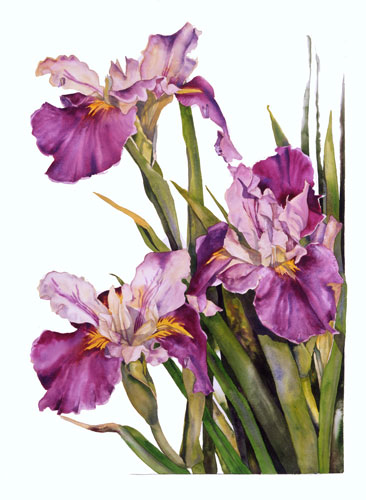 Louisiana Iris watercolor