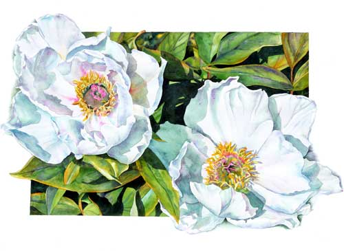 Watercolor of white peony blossoms