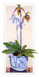 Lady Slipper Orchid Print